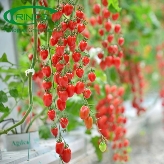 Commercial NFT vertical urban cherry tomato hydroponics system in greenhouse
