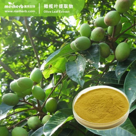 50% Oleuropein Extract Olive Leaf Extract Powder Canarium Album Raeusch. Extract