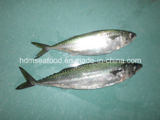 Whole Round Frozen Seafood Fish Frozen Mackerel for Market (Scomber japonicus) pictures & photos