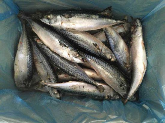 Frozen Pacific Mackerel Fish (300-500g)
