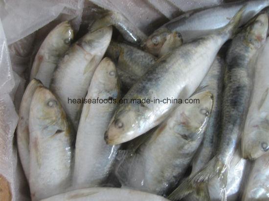 Bait Sardines From Chinese Factory pictures & photos