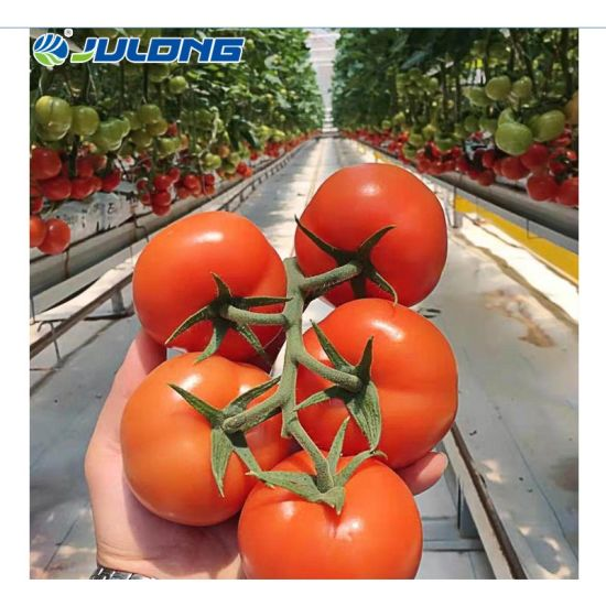 Agricultural Multi Span Plastic Film Hydroponics Tomatoes Greenhouse Construction Factory Price