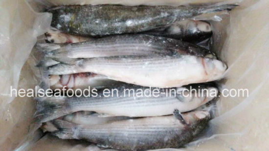 High Quality Whole Round Frozen Grey Mullet Fish