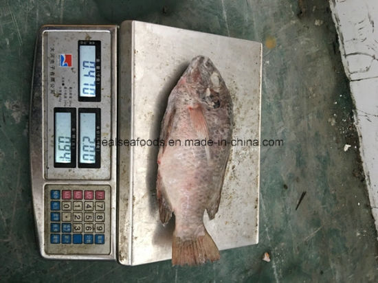 Chinese Frozen Chopa 200-300g Tilapia pictures & photos