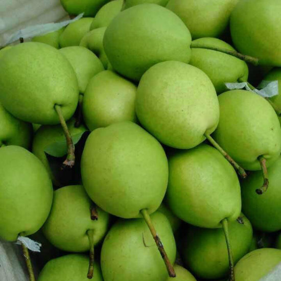 New Crop Green Color Shandong Pear pictures & photos