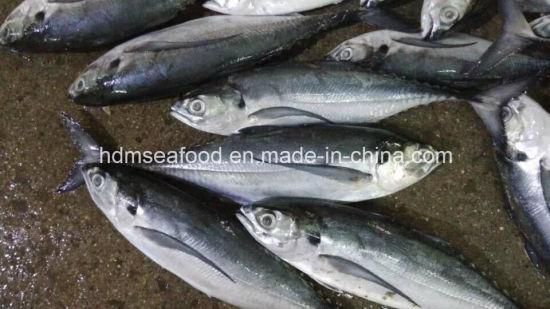 25cm+Big Size Hardtail Scad Frozen Fish
