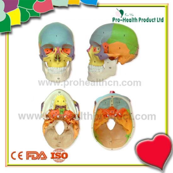 Colored Life-Size Plastic Medical Anatomical Human Skull Model