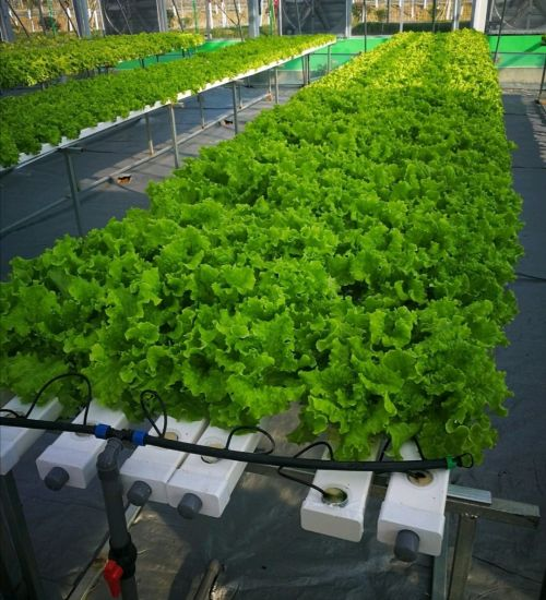 Plastic Film Multi-Span Greenhouse Used for Lettuce with Hydroponic System