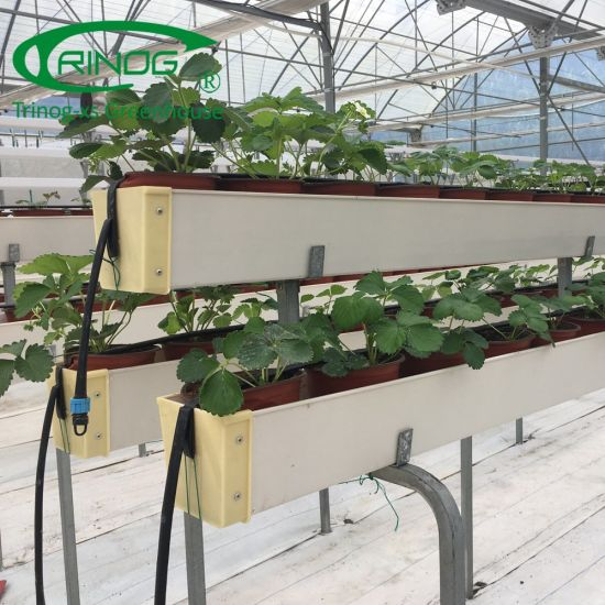 Coco peat strawberry a-frame hydroponics system in greenhouse