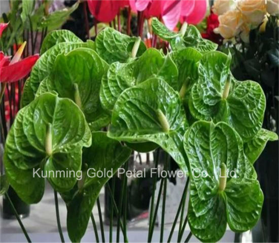 China High Quality Decoration Fresh Cut Flowers Green Anthurium China Flowers And Fresh Cut Flowers Price