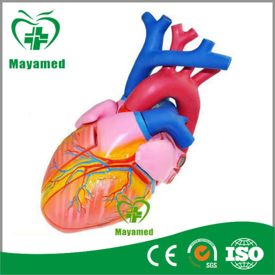 My-N011 3D Human Heart (Anatomical Model) pictures & photos