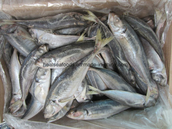 Chinese Factory Small Size Horse Mackerel Price