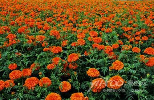 Zeaxanthin 5%, 20%, 40% Marigold Flower Extract