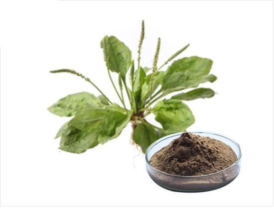 China Plantago Herb Extract Plantago Depressa Willd Asia Plantain Extract -  China Plantago Herb Extract, Plantago Depressa Willd