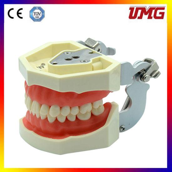 Teeth Model Root Canal Filling Model
