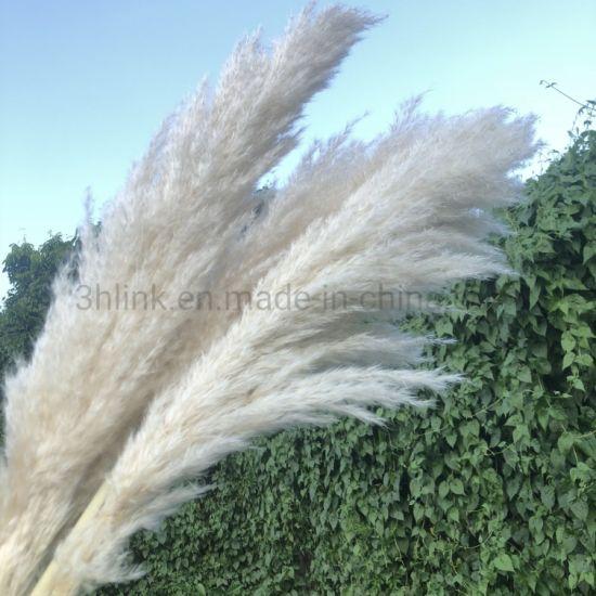 China 3hlink White Grey Pampas Grass For Home Decor China Pampas Grass And Pampas Grass Decor Price