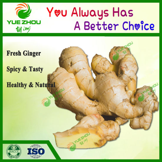 China Ginger Fresh Ginger 100-350g Ginger with Cheap Price