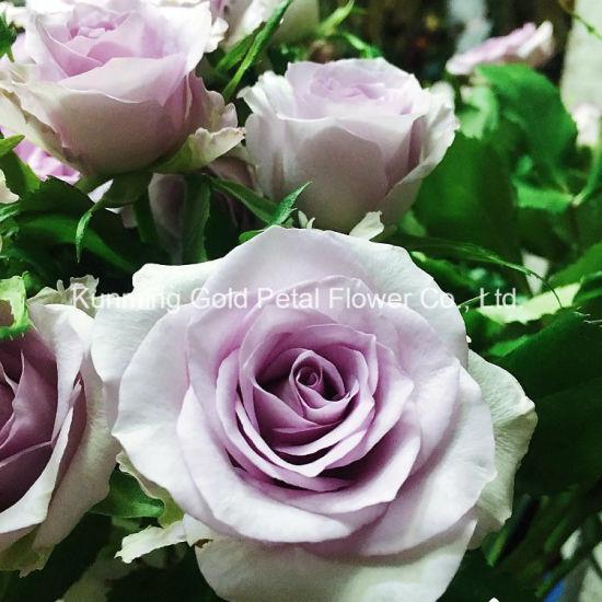 China wonderful wholsales fresh cut flowers rose the song of ocean wonderful wholsales fresh cut flowers rose the song of ocean rose mightylinksfo