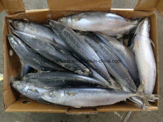 Blue Mackerel Fish (200-300g) From Chinese Mackerel Factory