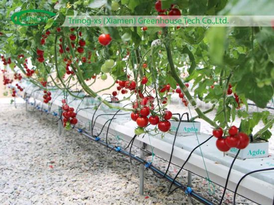 Tomato Hydroponic System with auto fertilizer system