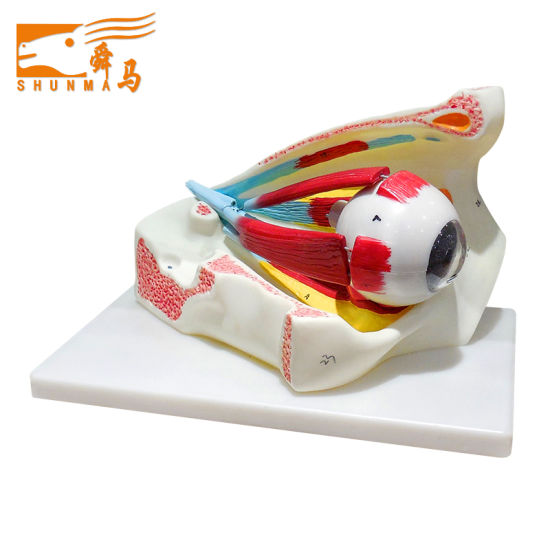Eye in Orbit Anatomical Model (teaching aids model)