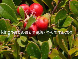 Kingherbs′ 100% Natural Bearberry Extract: 20%, 99% Arbutin pictures & photos