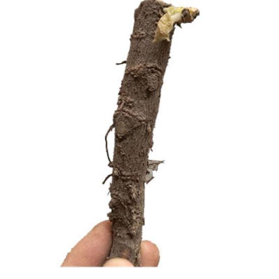 Fast Grow Hybrid Paulownia Seeds for Planting