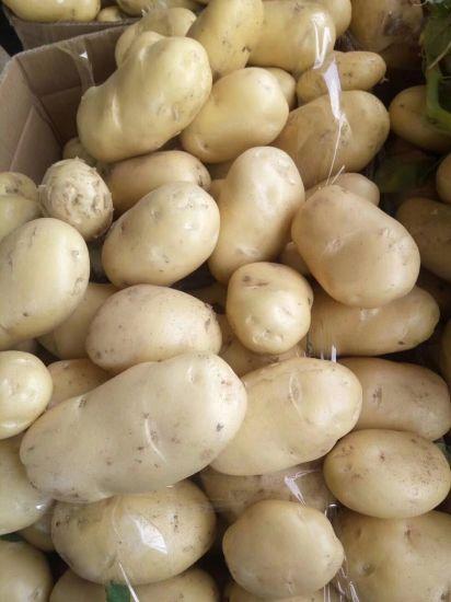 New Crop Fresh Potato of China