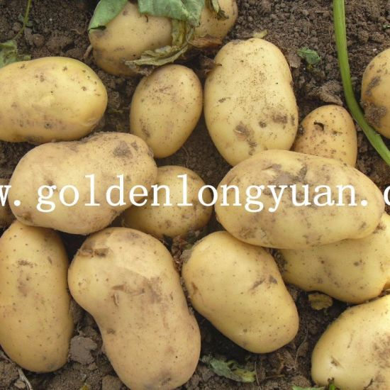 Fresh China Potato with Good Quality pictures & photos