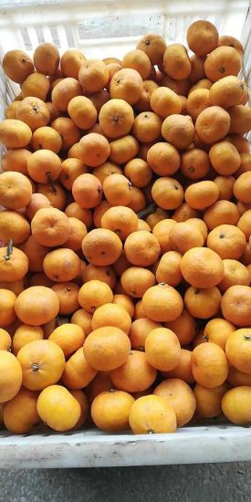 High Quality Fresh Nanfeng Orange pictures & photos