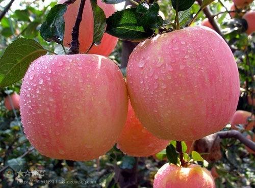 New Crop SGS Ciq FUJI Apple