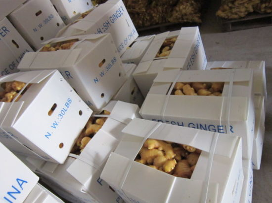 New Crop Fresh Ginger (250G and up) pictures & photos