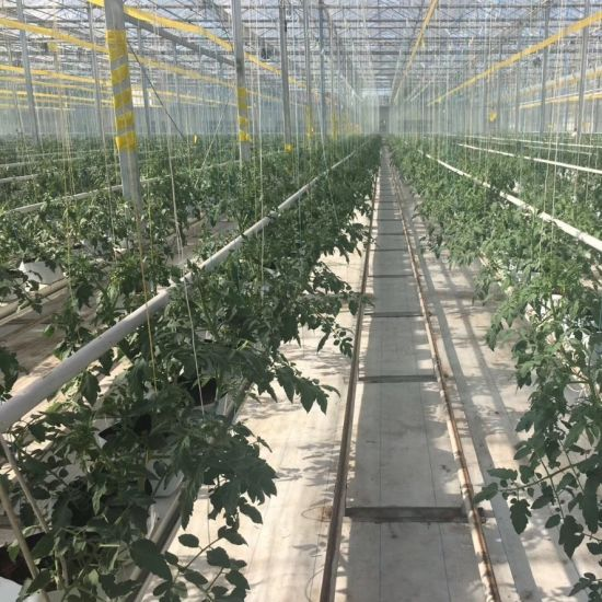 Glass Greenhouse Vertical Cocopeat Hydroponic Growing System