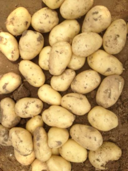 Chinese Golden Yellow Fresh Potato pictures & photos