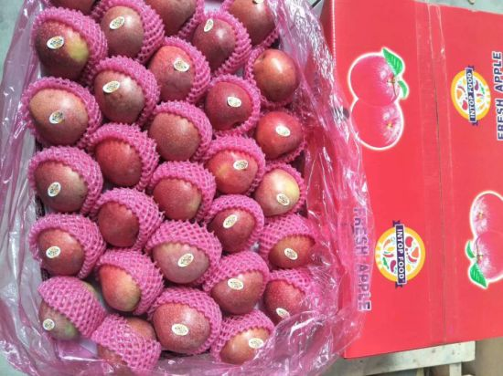 Fresh Red Qinguan Apple From Professional Supplier