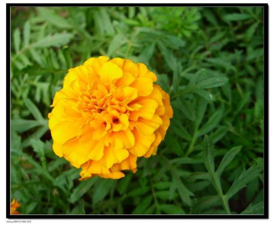 Lutein 5%-98% Marigold Extract Water Soluble Zeaxanthin Xanthophyll (CAS No.: 127-40-2)
