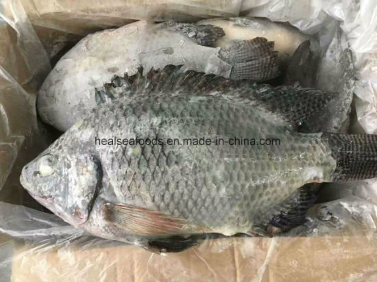 Frozen Black Tilapia for Sale (500-800g) pictures & photos
