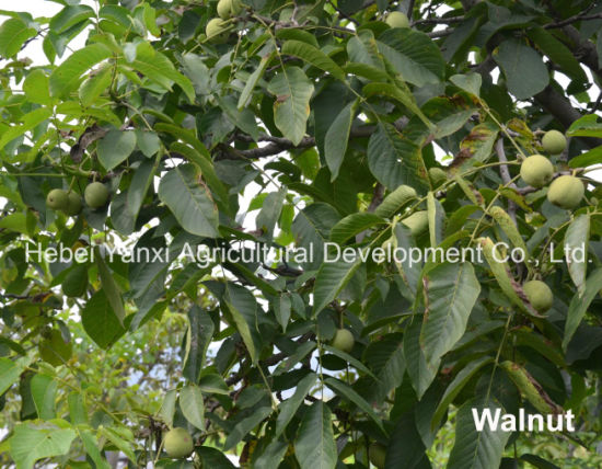 High-Quality 100% Natural Healthy Food Rich Nutrition Walnut pictures & photos