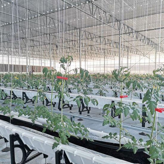 Tomato Growing Multi-Span Greenhouse