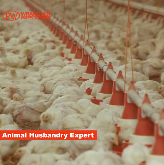 Complete Broiler/Layer/Pullet Solutions for Chicken Farm Equipment