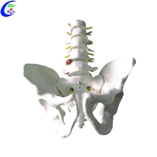 China Human Anatomy Doll Teaching Aids Pelvis Model For Medical