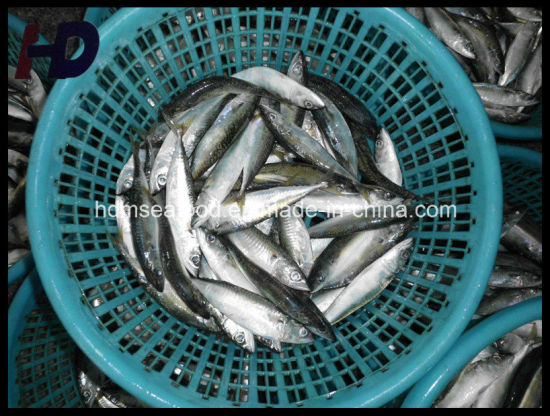 [Hot Item] Mackerel Fish Frozen Seafood for Sale (Scomber japonicus)