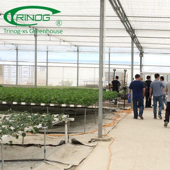 Economic lettuce hydroponic NFT Greenhouse for large farm