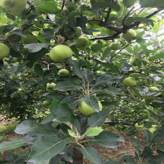 Fresh Green Gala Apple Fruit