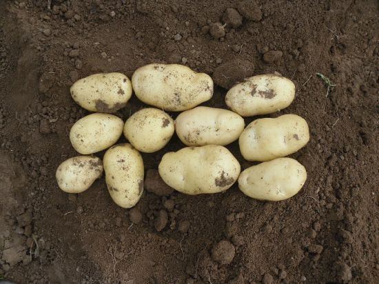 New Crop Fresh Potato (200g and up) pictures & photos