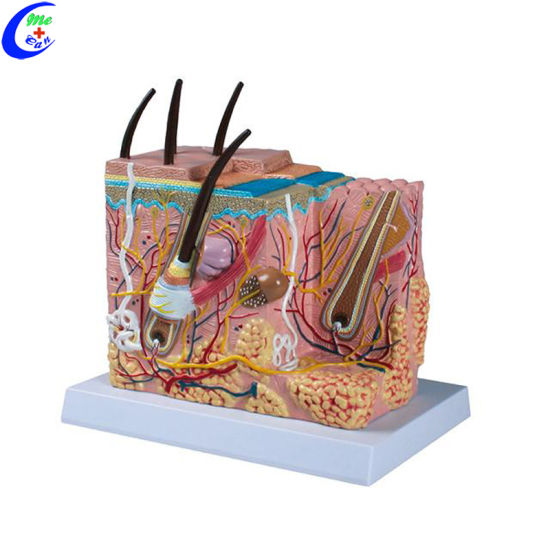 China Human Skin Anatomy Model China Skin Model Human Skin Model