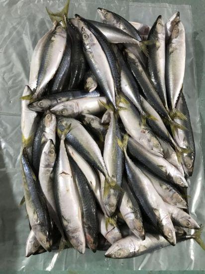 China/Saba Mackerel / Pacific Mackerelbqf for Market Sale/Bait/Canning