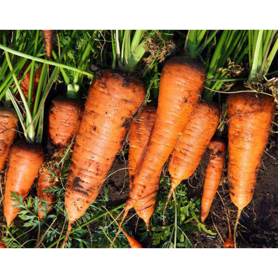 2019 Shandong Province Crop Fresh Carrot with Good Quality pictures & photos