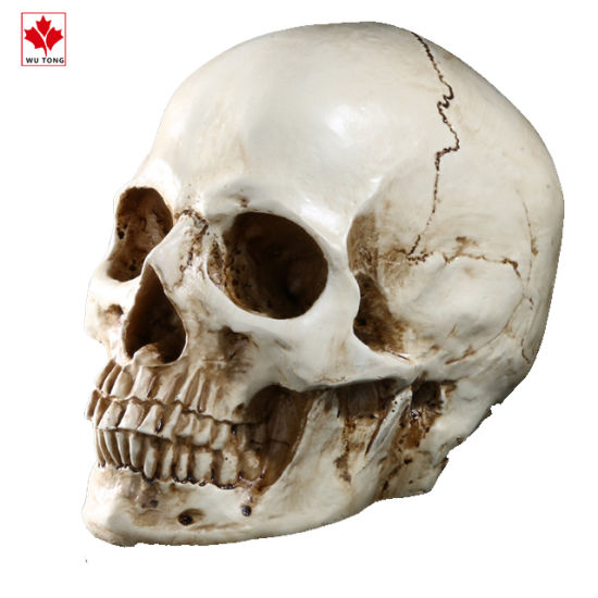 Grinning Realistic Replica Human Skull Home Statue