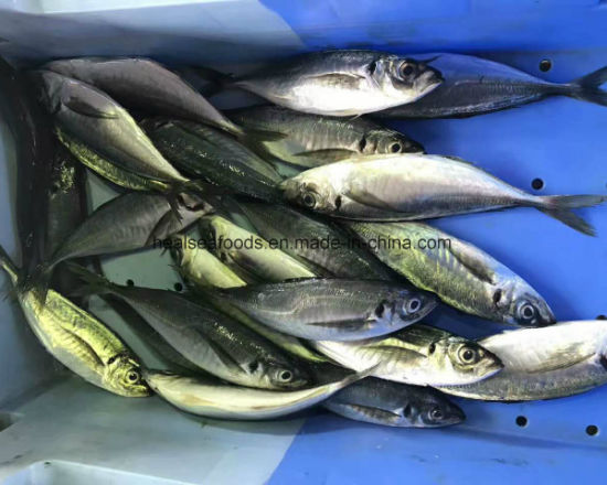Frozen Horse Mackerel Fish 20cm+ pictures & photos